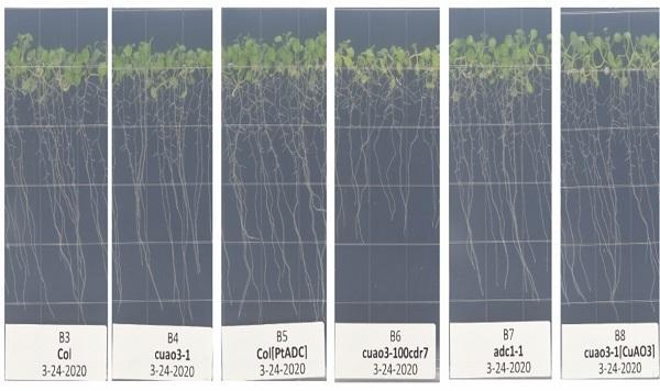 Immagine di semi con nove diversi genotipi in crescita nella camera VEGGIE della ISS. Credits: NASA